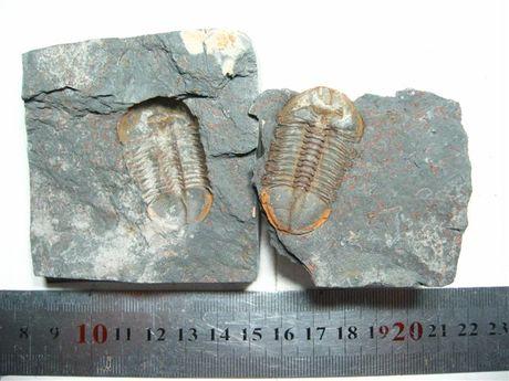 已灭绝的海生节肢动物